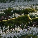 Hóvirágmező