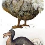 Dodó, egy kihalt madár