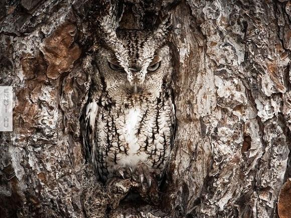 eastern-screech-owl-camouflage_66528_600x450