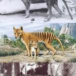 Erszényes farkas, kihalt faj