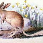 Fehérfarkú erszényesnyúl, kihalt faj