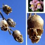 Halálfej, vagy virág?