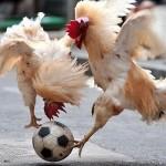 Kakas foci