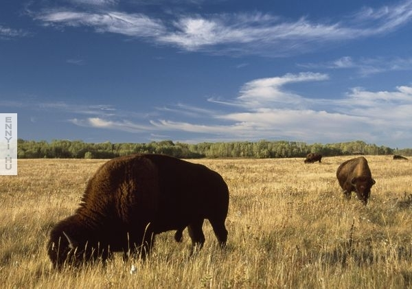 riding-bison-canada-national-parks_