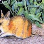 Sivatagi bandikut, kihalt faj