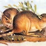 Sivatagi patkánykenguru, kihalt faj