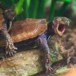 Teknős orgazmus